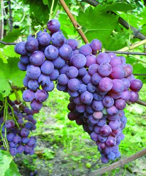 Характеристика неукрывных сортов винограда