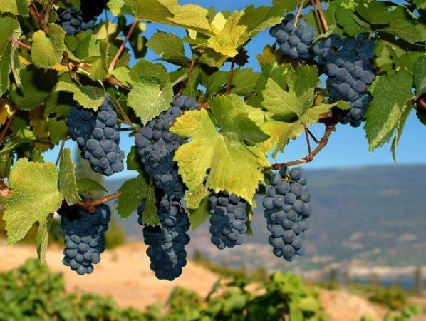 Безопасность вина Изабелла подтвердили международные эксперты